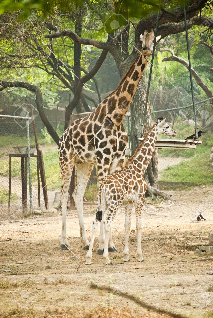 Giraffe Stock Photo - 9190168