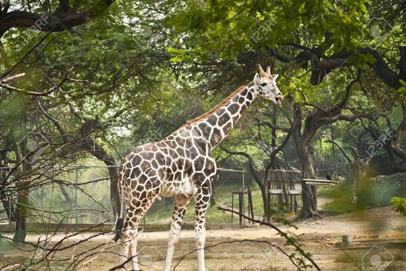 Giraffe Stock Photo - 9190161