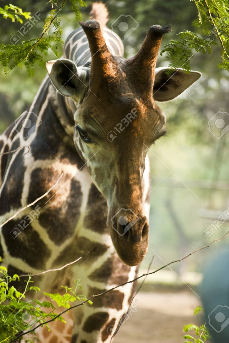 Giraffe Stock Photo - 9190125