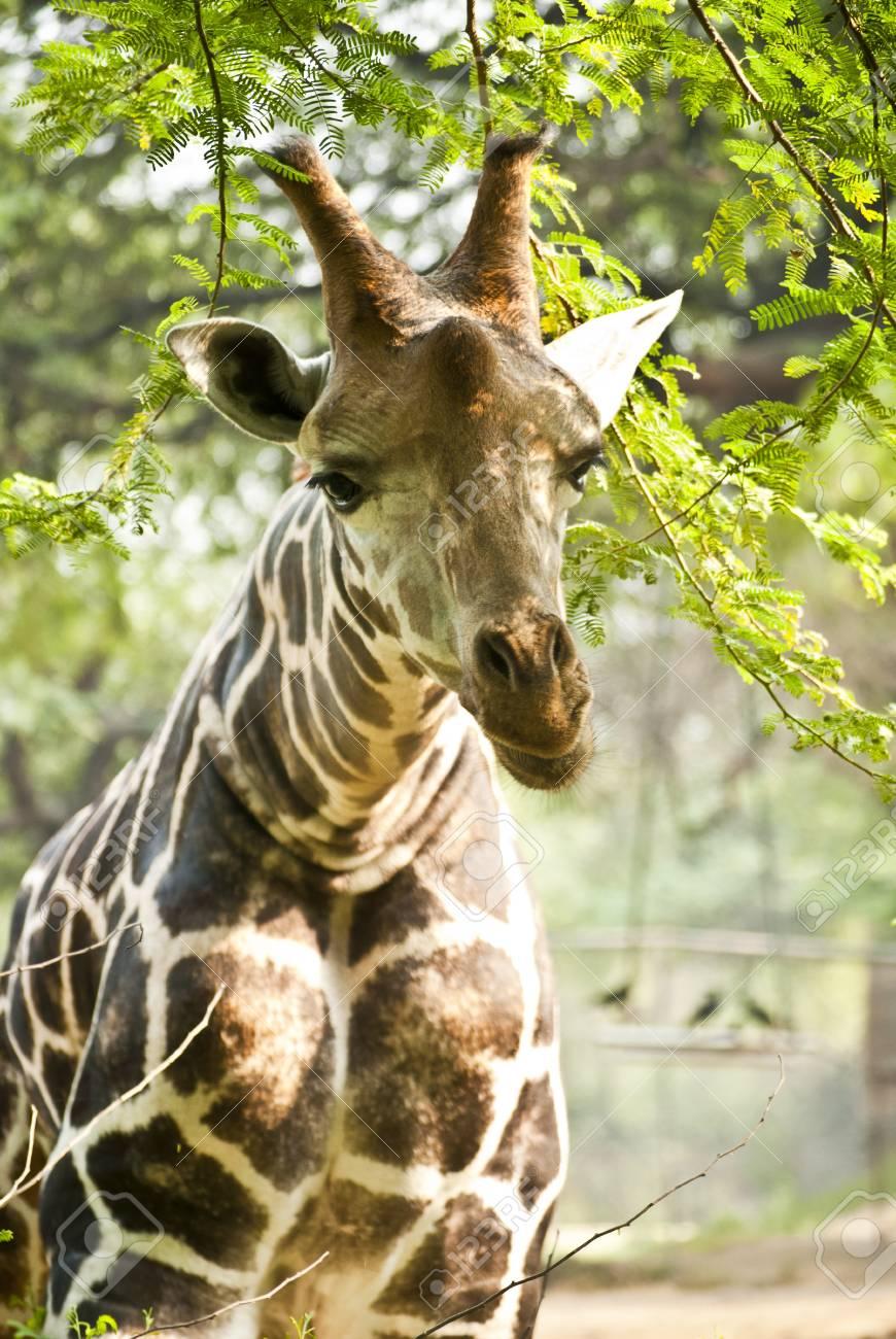 Giraffe Stock Photo - 9190140