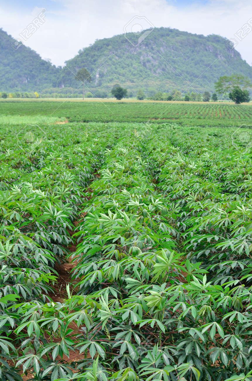 A field of cassava as a crop Stock Photo - 13562810