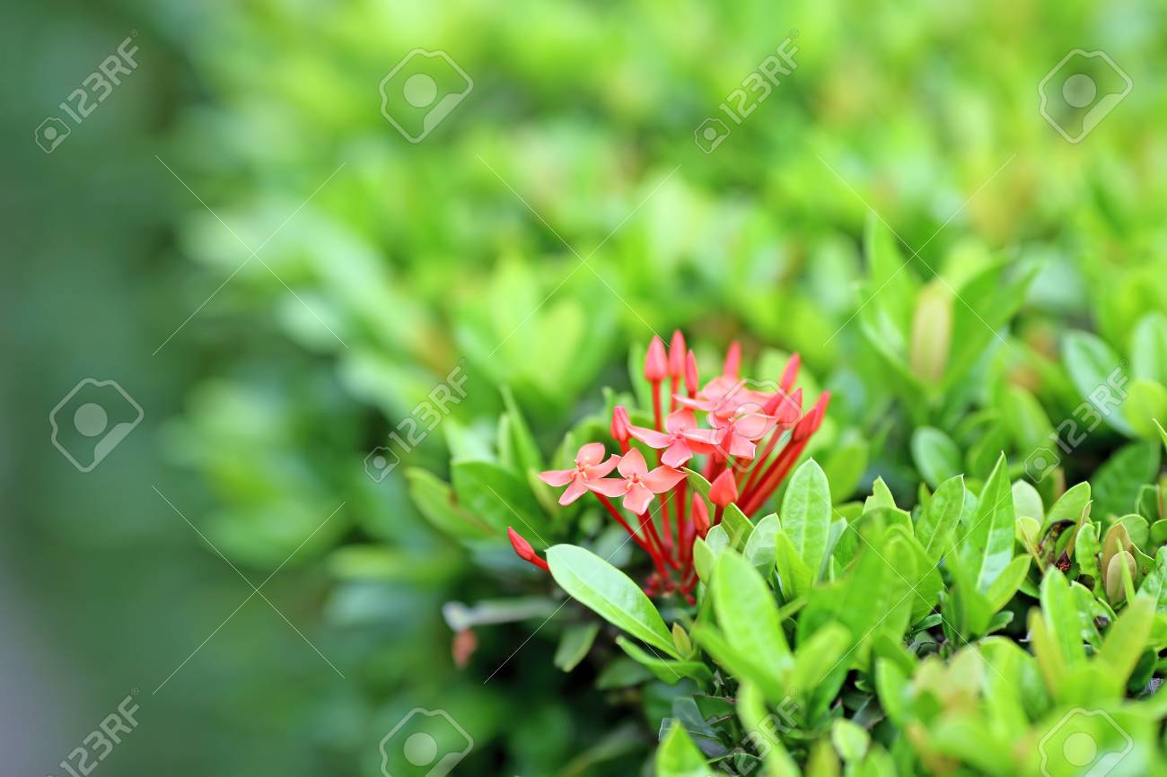 Lxora flower west indian jasmine stock photo picture and royalty lxora flower west indian jasmine stock photo 30595895 izmirmasajfo