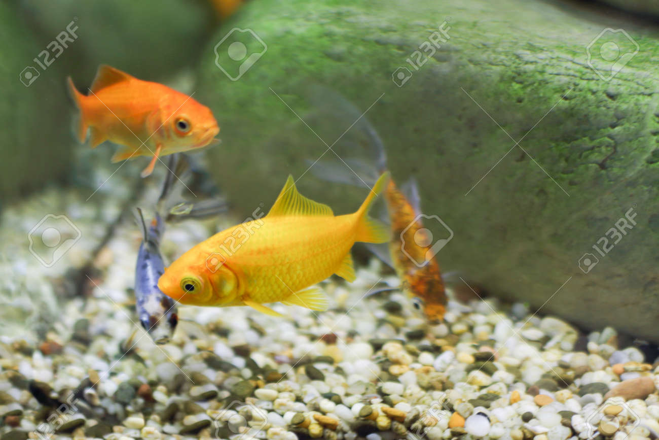Four Small Fish, Two Of Which Are Bright Yellow Color, Others ...