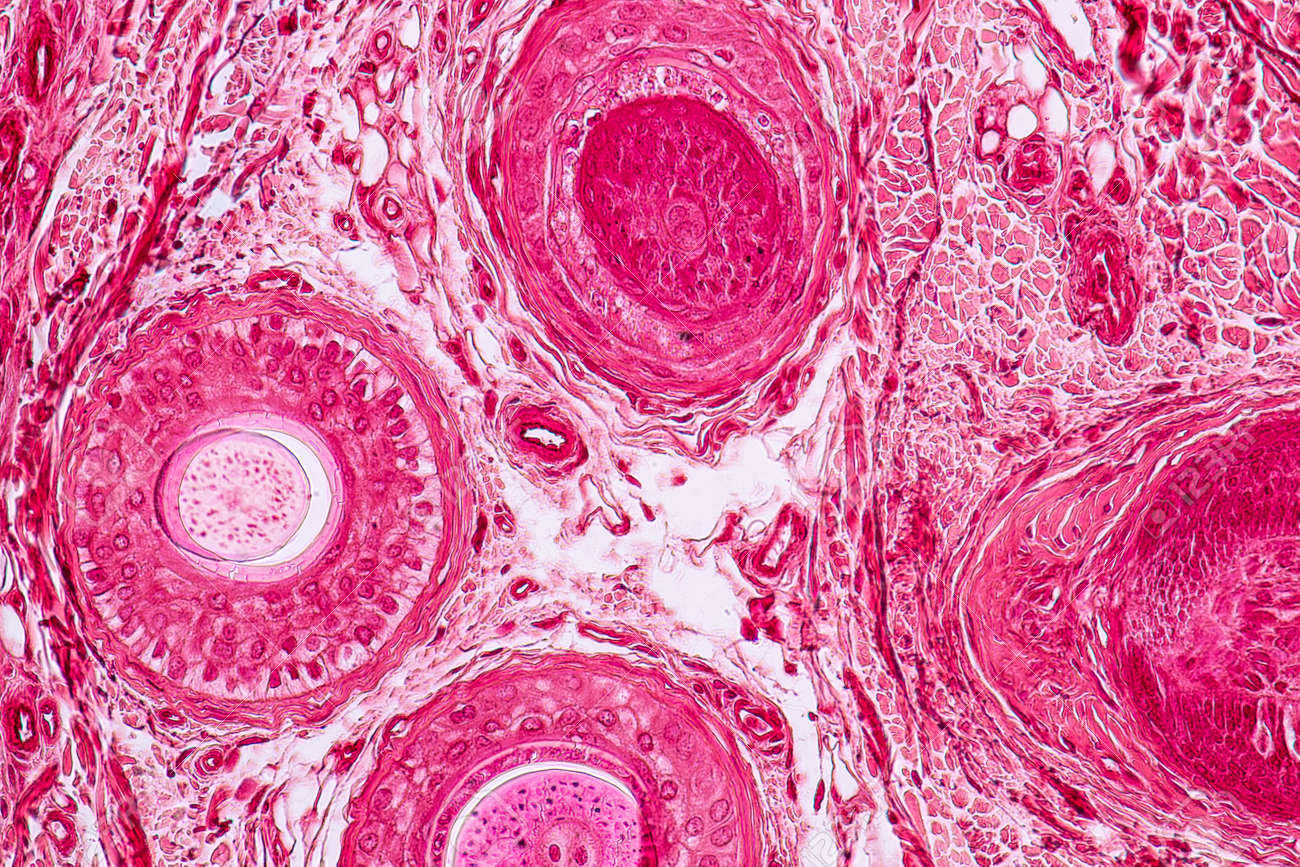 Education Anatomy And Histological Sample Elastic Cartilage Tissue