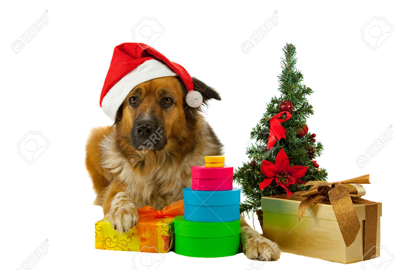 Big long-haired dog whit his christmas presents on white background Stock Photo - 10952311