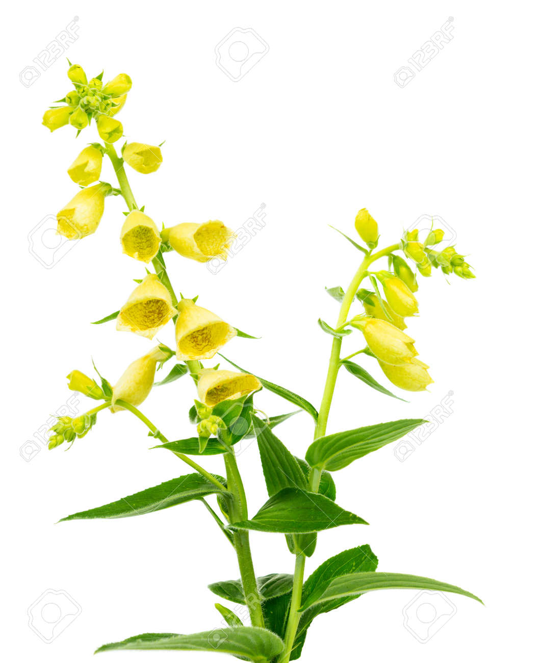 Flowering Foxglove Digitalis Lutea With Colourful Spikes Of