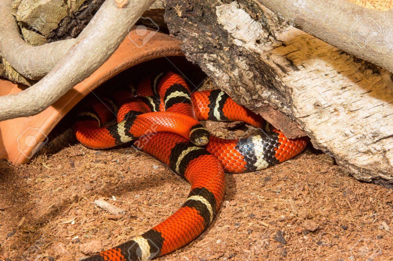 a nonvenomous sinaloan milk snake lampropeltis triangulum