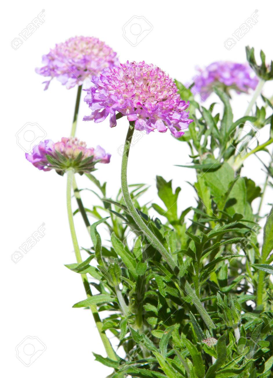 Close Up Of Pincushion Flowers Skabiosa Columbaria On White Stock