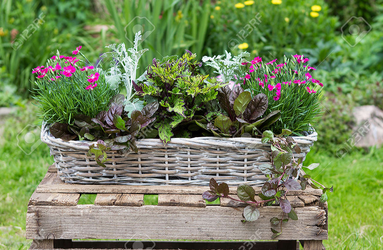 Potted Garden Plants Potted garden plants like carnation and painted nettle in a basket potted garden plants like carnation and painted nettle in a basket for outside decoration stock workwithnaturefo