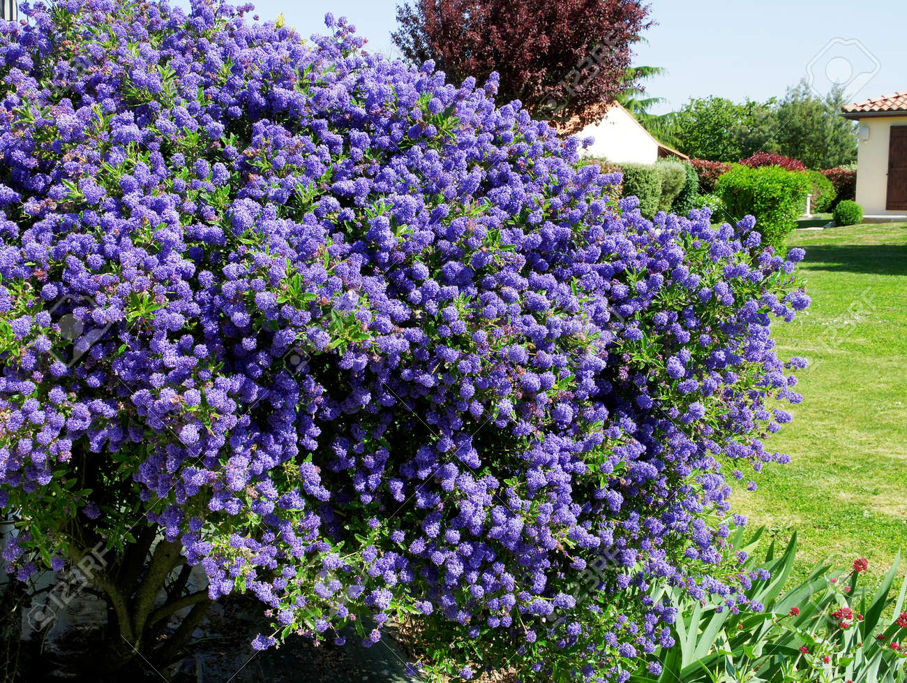 Bush Of Blue Flowers In A Garden Stock Photo Picture And Royalty