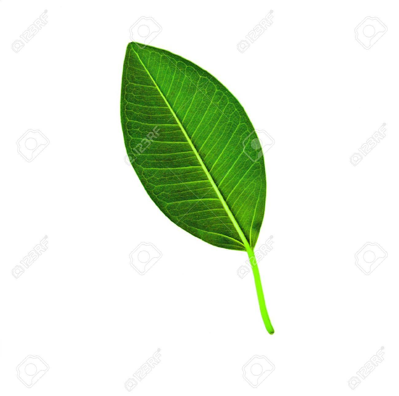 The back side of a leaf showing stem and veins Stock Photo - 11754300