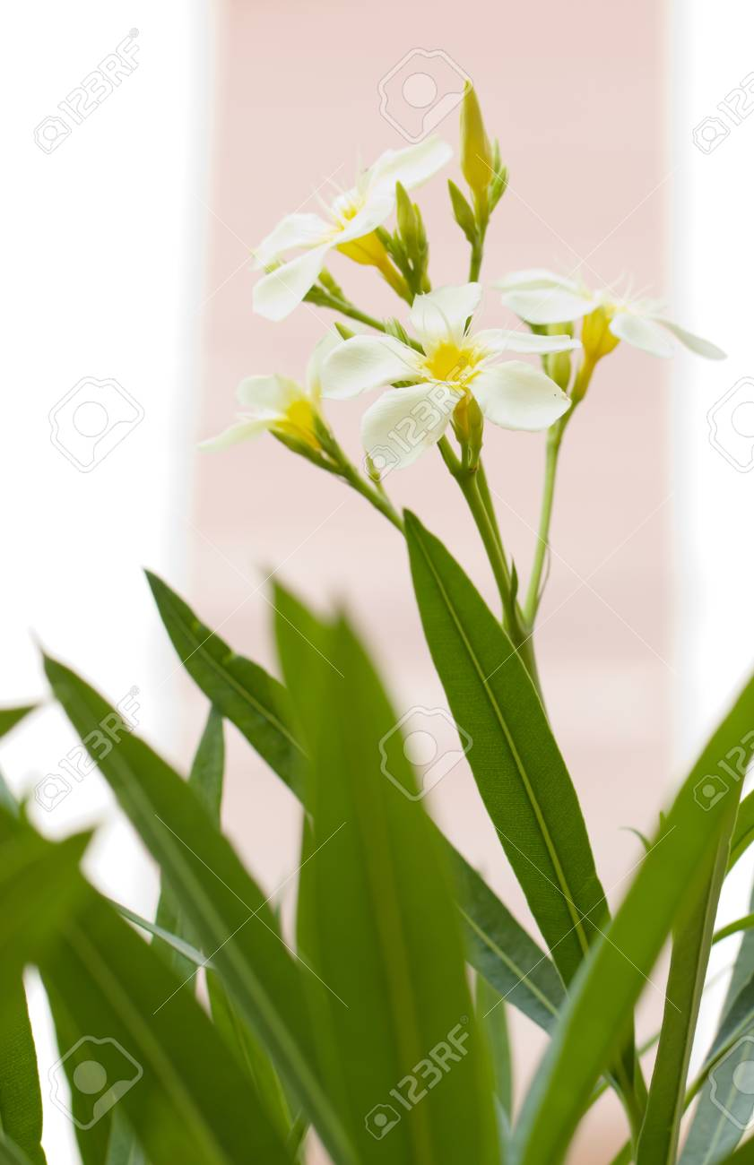 White Oleander Flowers Are Blooming Stock Photo Picture And Royalty