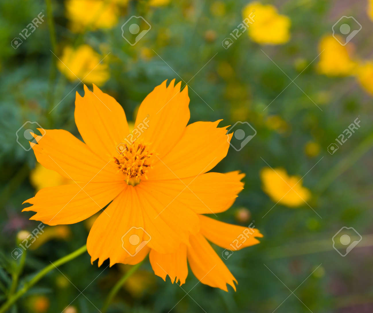 Yellow cosmos flower stock photo picture and royalty free image stock photo yellow cosmos flower mightylinksfo