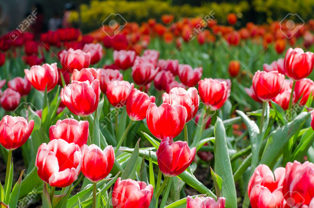 Group of red tulips in the park  Spring landscape Stock Photo - 24880804