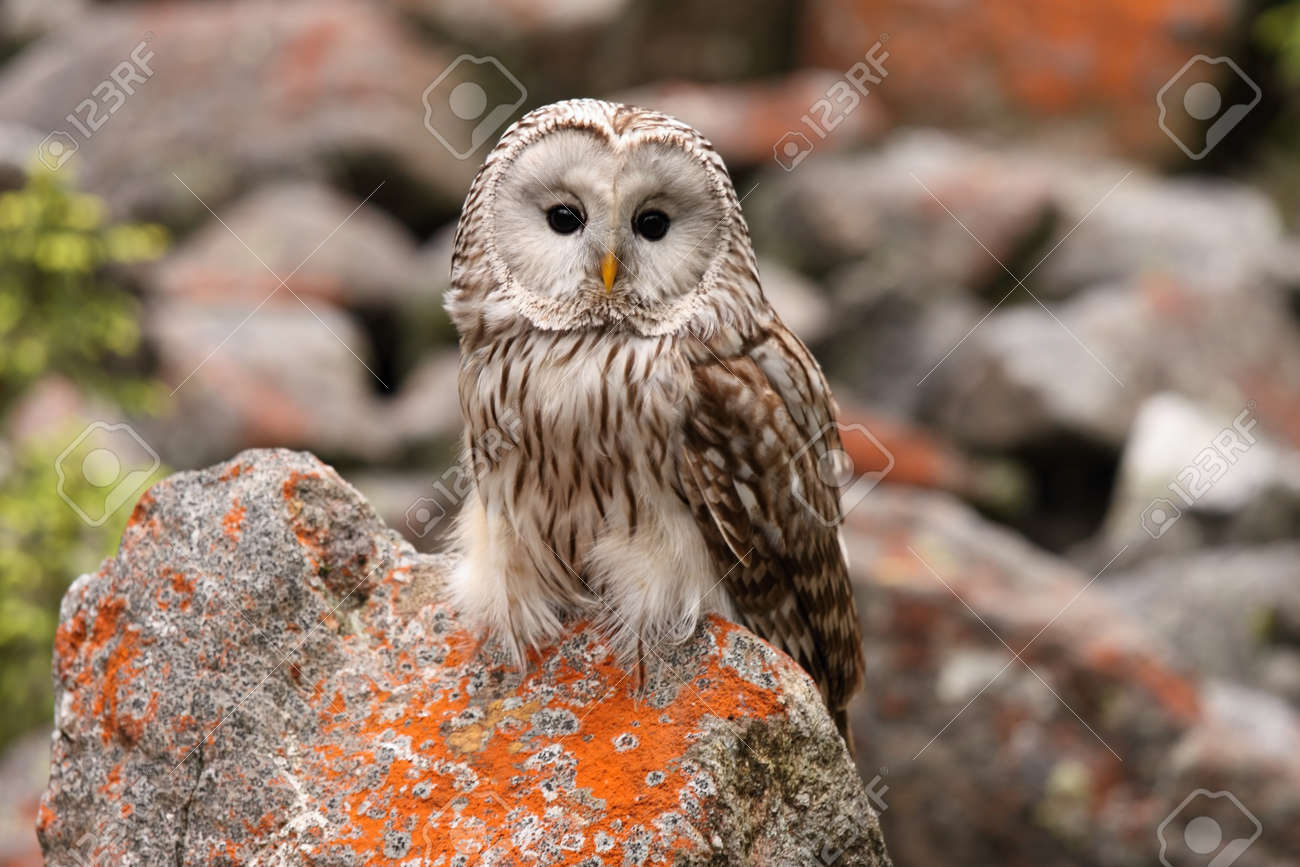 Image of: Night Stock Photo Strix Uralensis Nocturnal Owl Living In Europe And Asia 123rfcom Strix Uralensis Nocturnal Owl Living In Europe And Asia Stock Photo