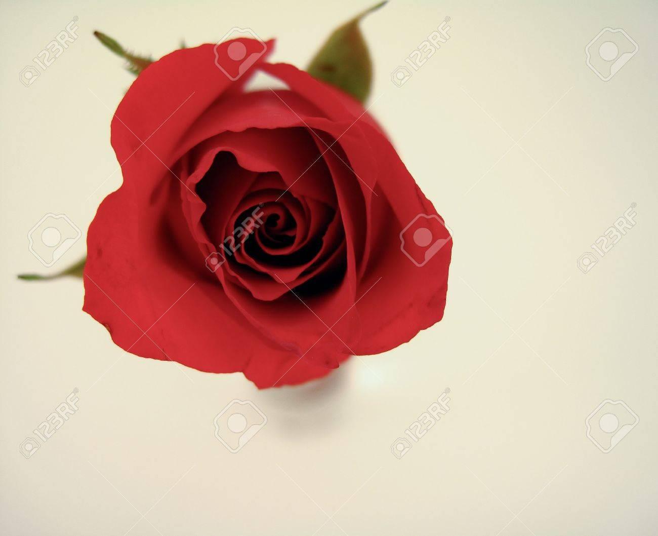 Rose Stock Photo - 4741190