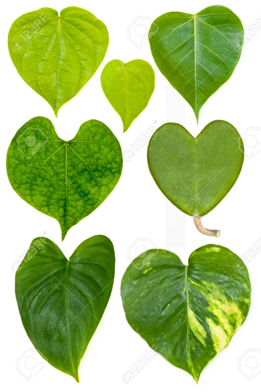 collection of heart shape leafs isolated Stock Photo - 10285829