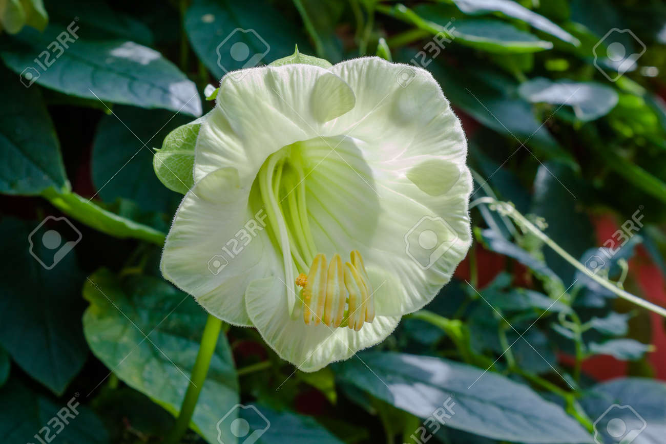 Creeper Plant With White Flower Blossom Stock Photo Picture And
