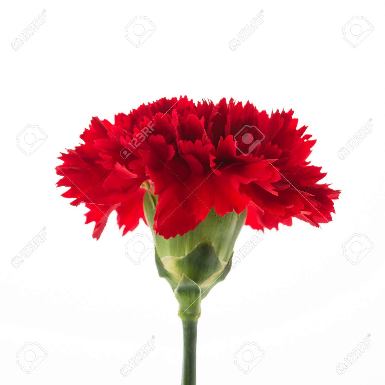 Berühmt Rote Nelke Blume Auf Weißem Hintergrund Lizenzfreie Fotos, Bilder @OK_54
