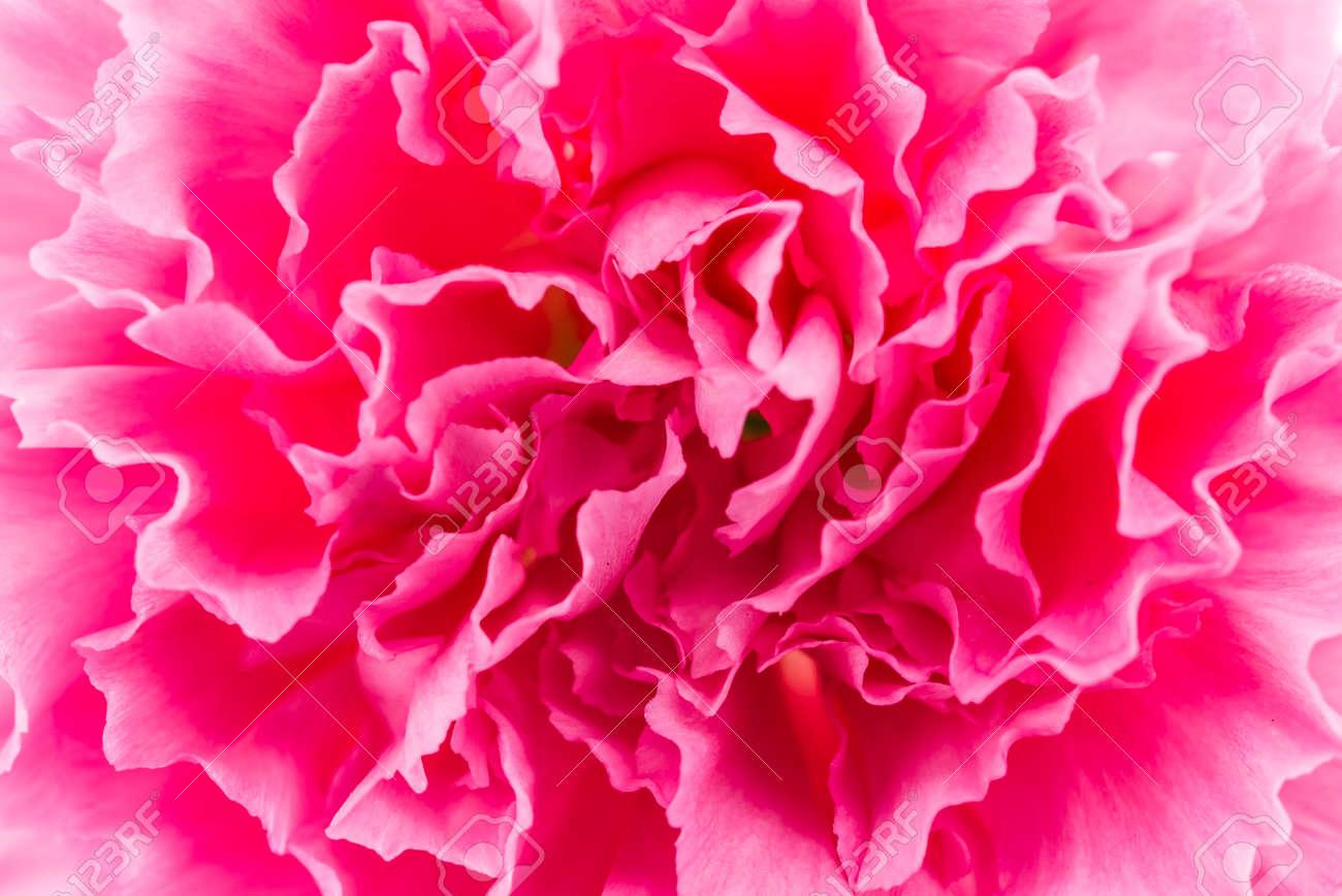 Close up Pink flower background Standard-Bild - 36704299