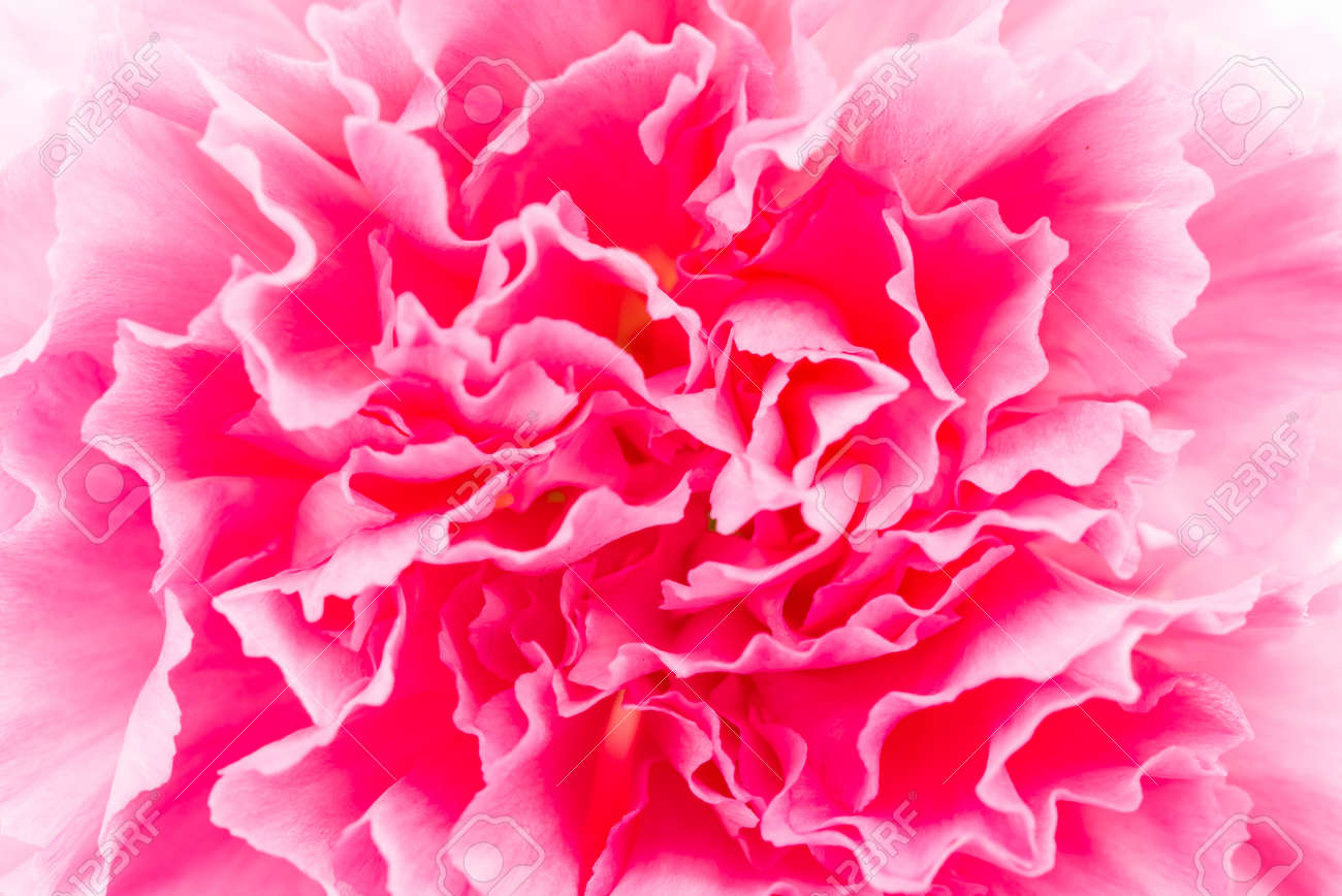 Close Up Pink Flower Background Stock Photo Picture And Royalty
