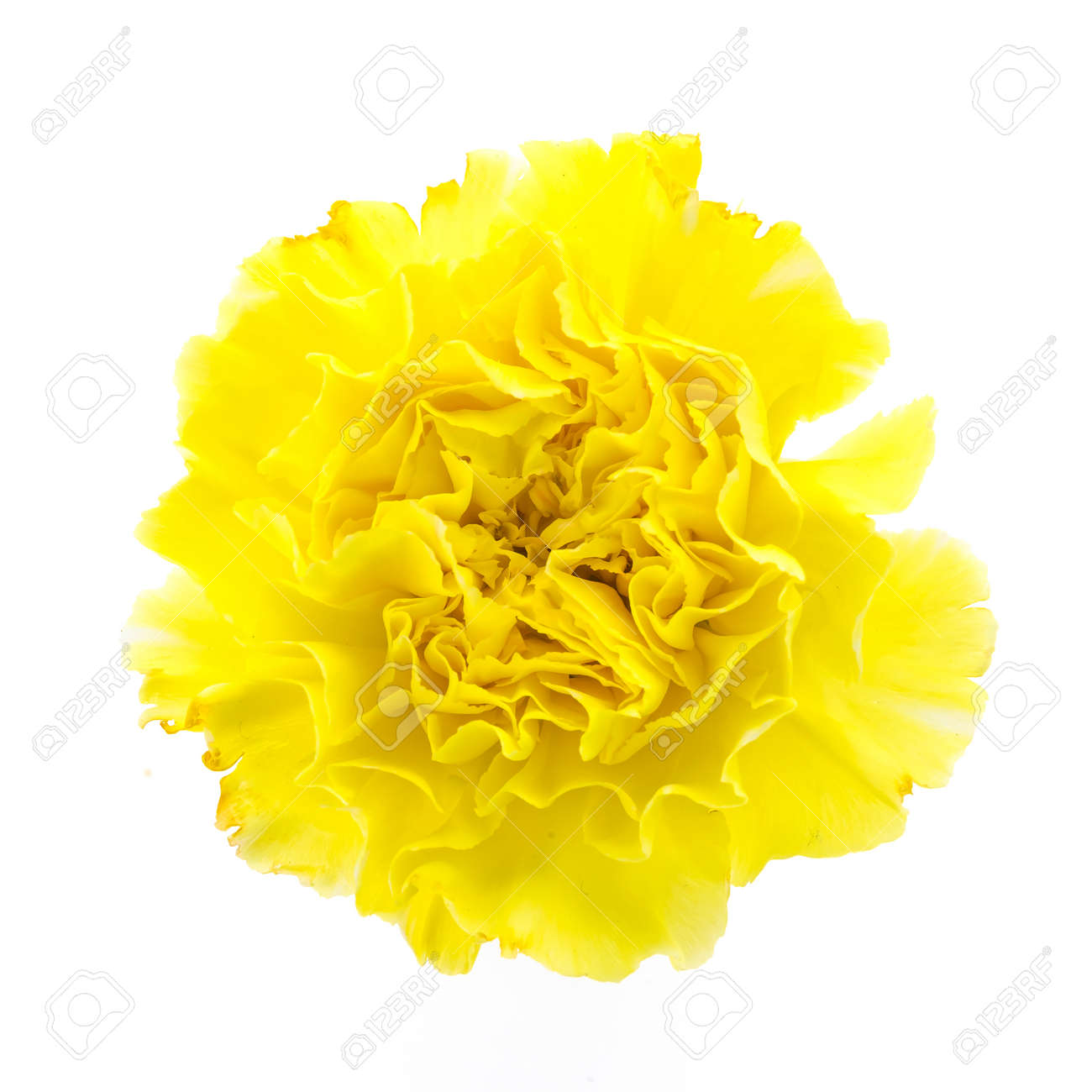 Yellow Carnation Flower Isolated On White Background Stock Photo