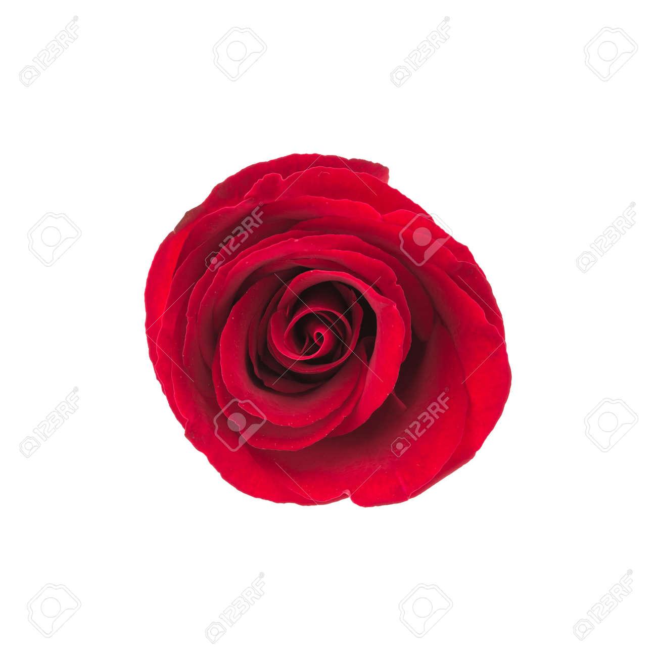 Fleur Rose Rouge Isole Sur Fond Blanc Banque D Images Et Photos