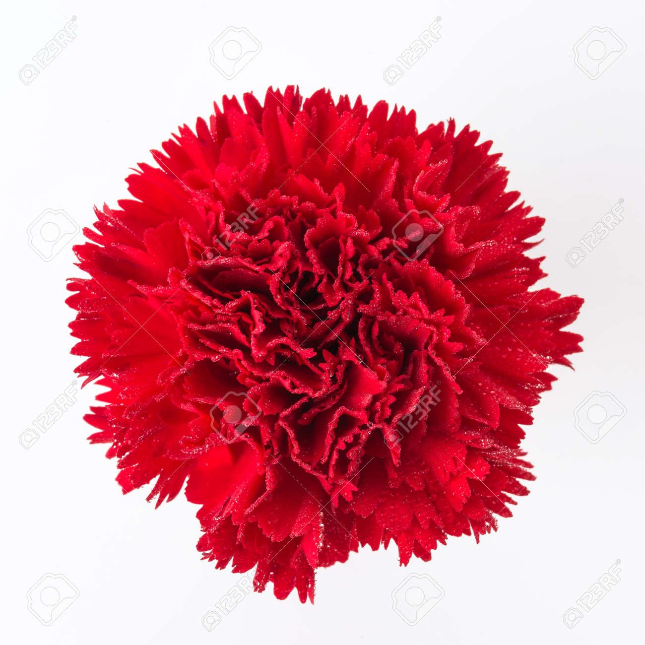Atemberaubend Rote Nelke Blume Isoliert Auf Weißem Hintergrund Lizenzfreie Fotos #VW_07