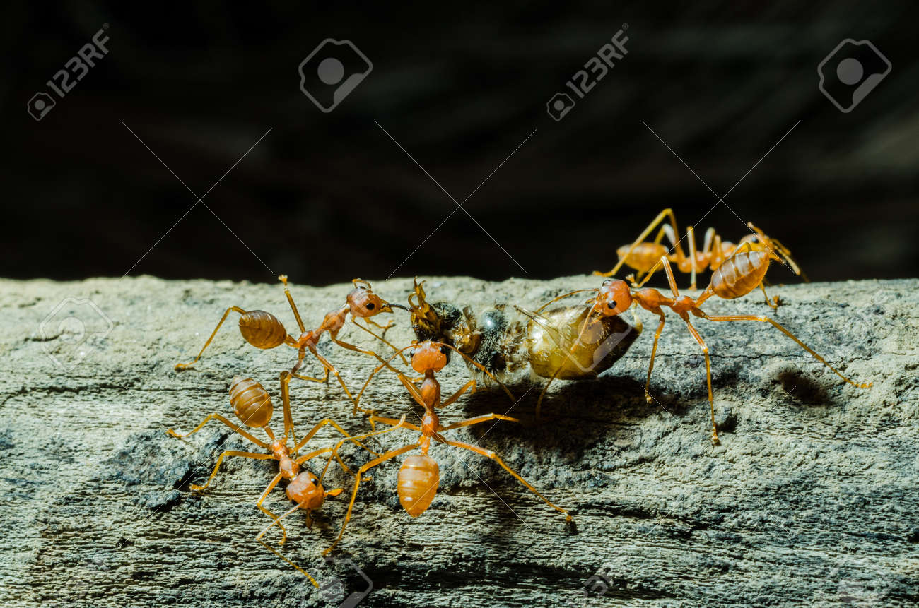 Many Ants Working Together Stock Photo Picture And Royalty Free