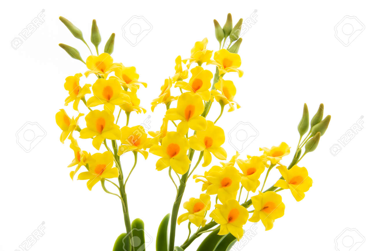 Light yellow orchid flowers isolated on white background flowers light yellow orchid flowers isolated on white background flowers handmade from the soil stock photo mightylinksfo