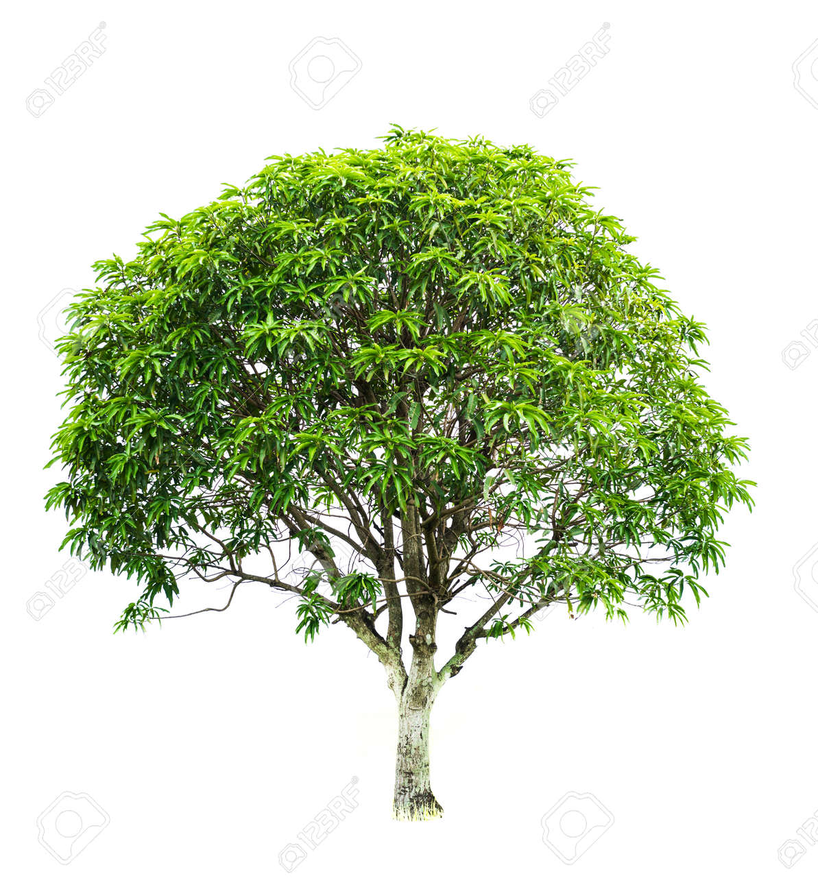 Mango Tree Images Free