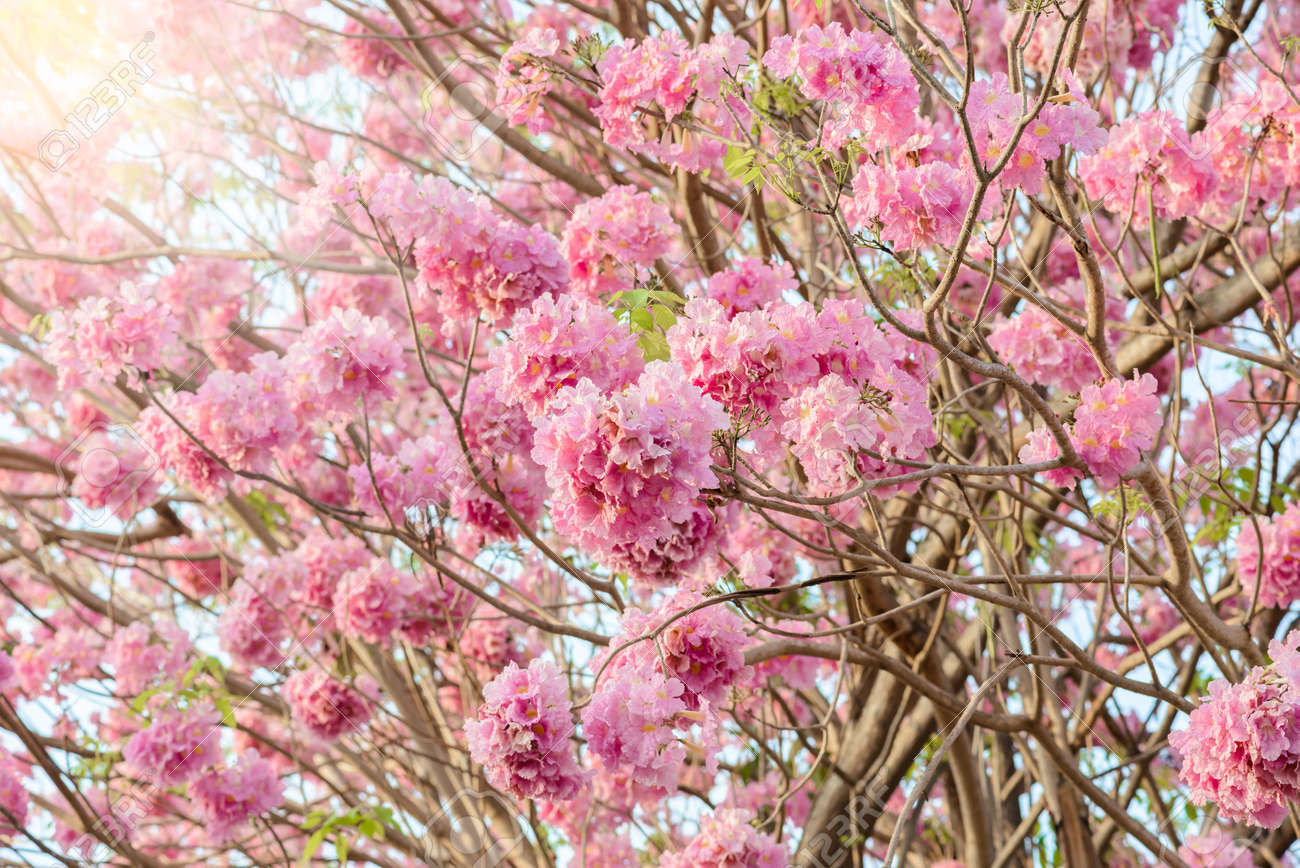 Tabebuia Rosea Is A Pink Flower Neotropical Tree Common Name
