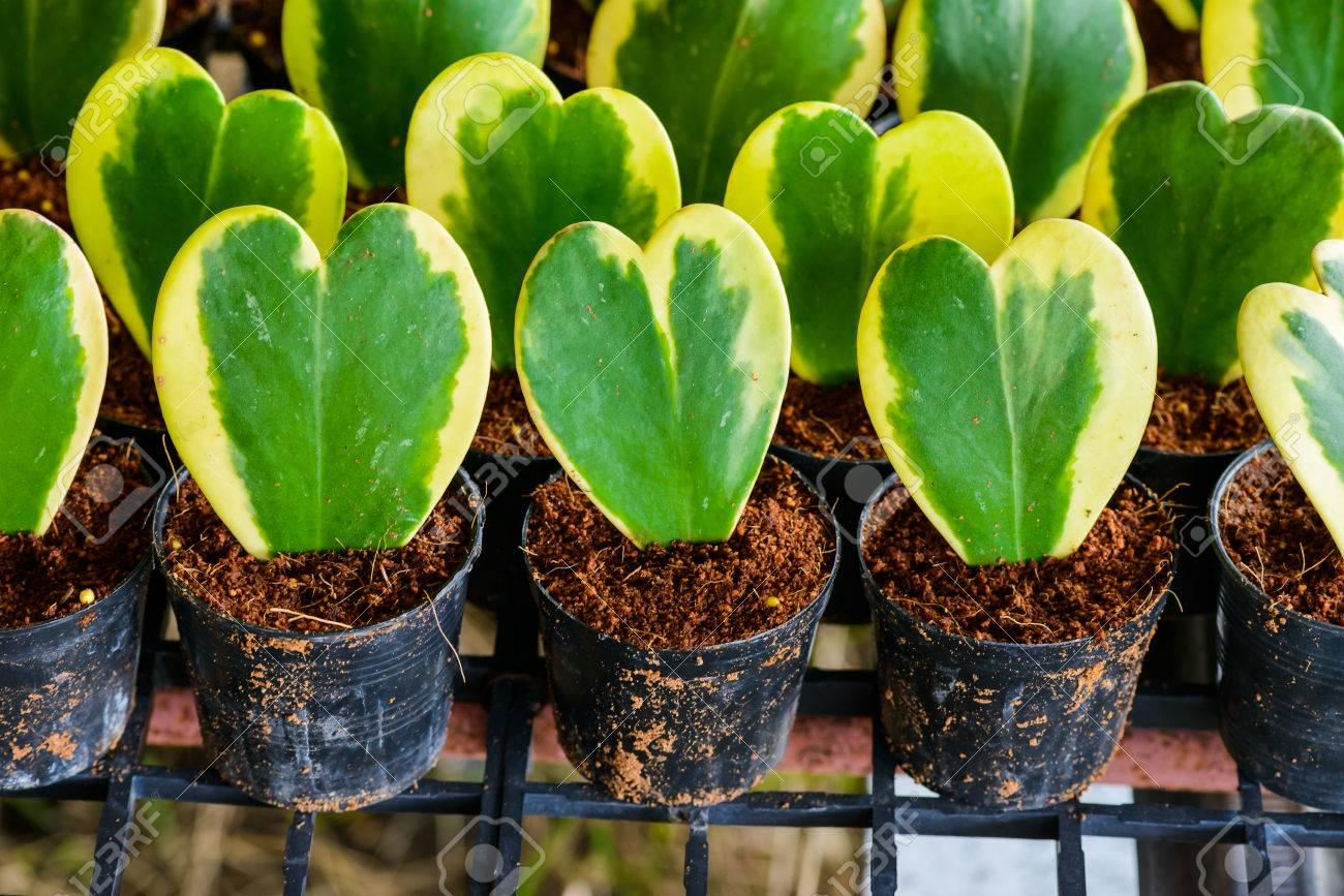 Hoya Kerrii Craib In Flower Pot Heart Shaped Plant Use For
