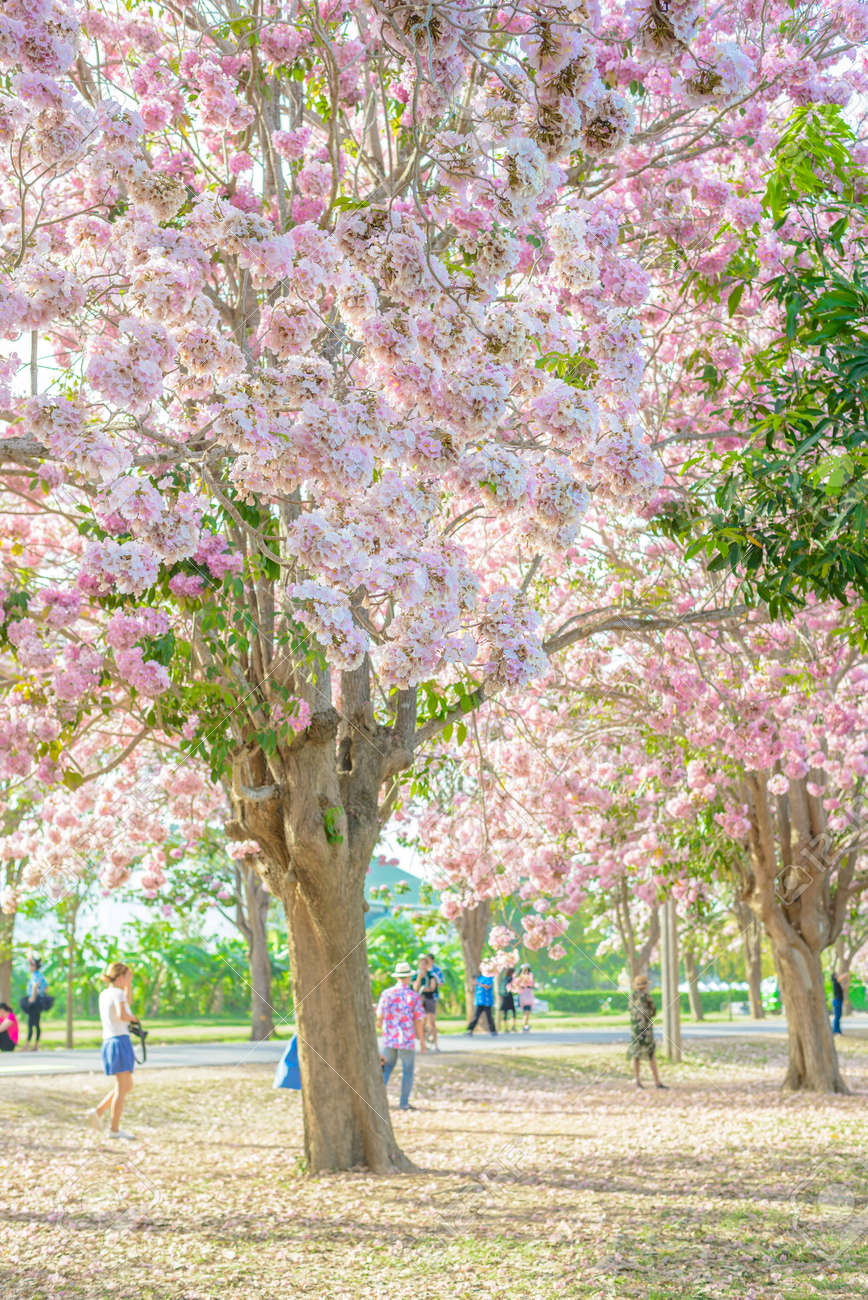 Tourists And Photographers Travel Tabebuia Rosea Is A Pink Flower