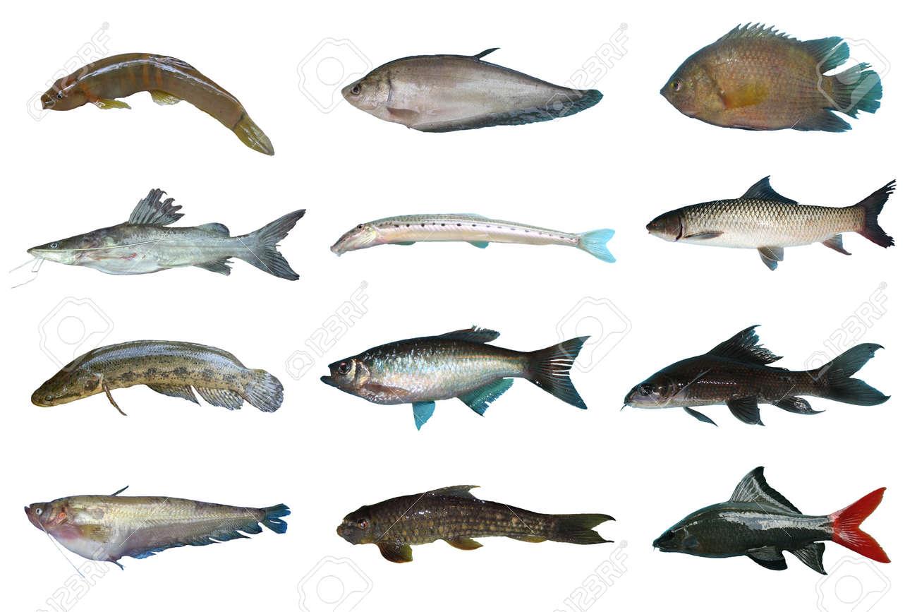 Freshwater fish - Set Freshwater Fish Of Thailand Freshwater Fish Isolated On White Background Stock Photo 23448219