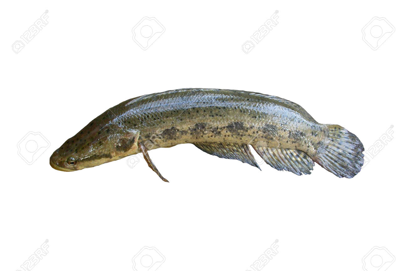 Freshwater fish nutrition - Freshwater Fish Isolated On White Background Blotched Snakehead Common Names Species Stock Photo 23448262