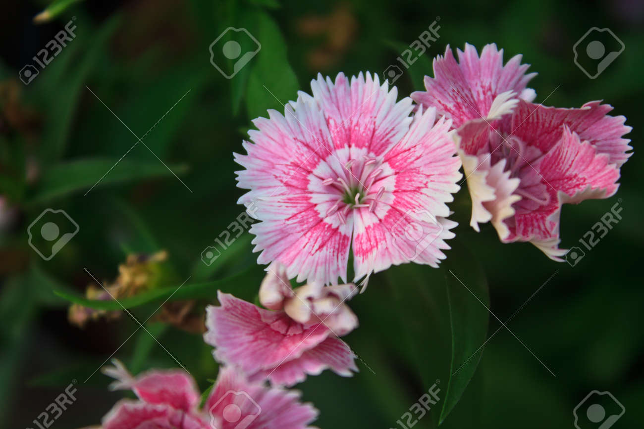 Flower From Thailand Dianthus Chinensis Flowers Or China Pink