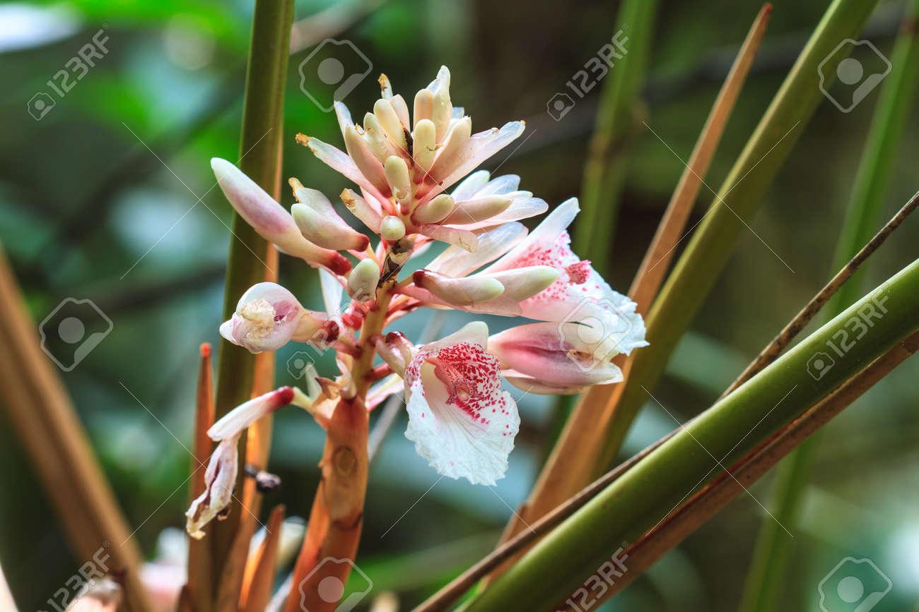 Bunte Shell Ingwer Blume Im Garten Ginger Pflanzenblüte Lizenzfreie