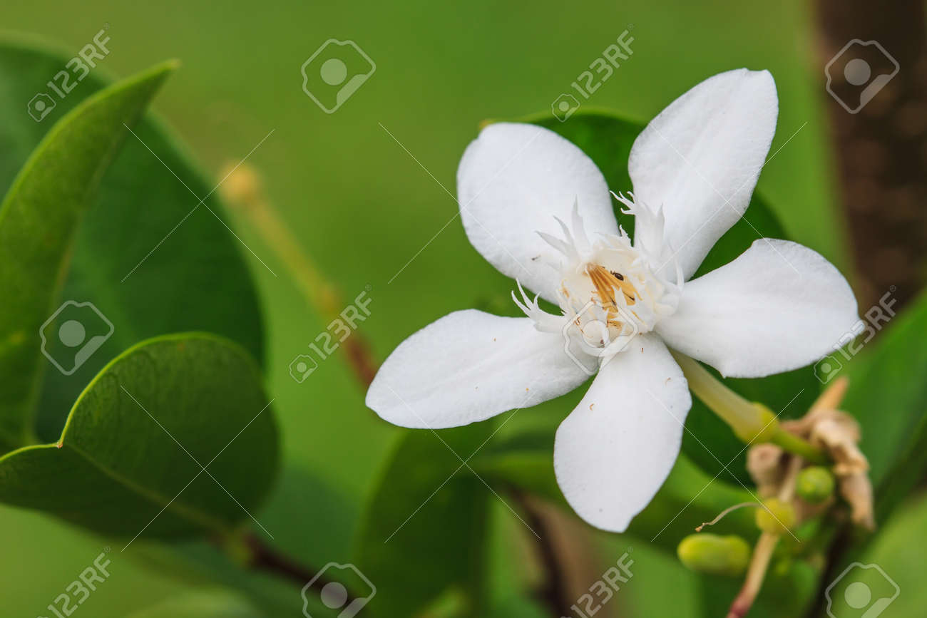 Close Up White Gardenia Flower In Garden Stock Photo Picture And