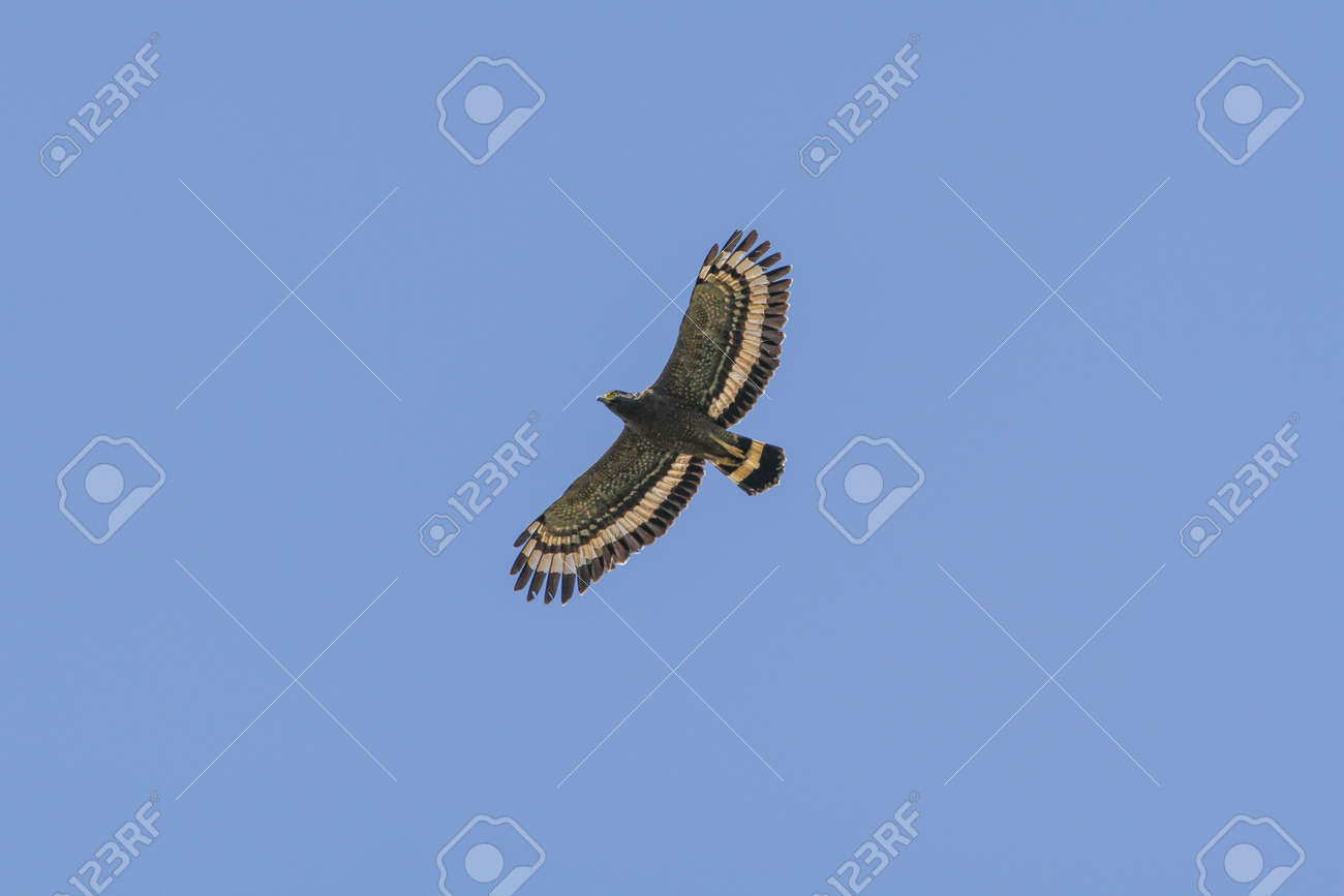 Crested Serpent Eagle In Flight On The Sky Stock Photo