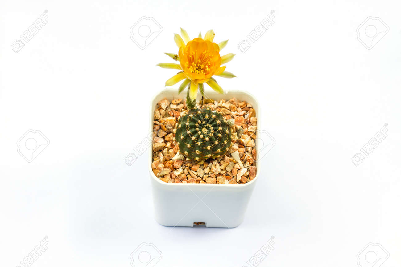Close Up Of Cactus Flower On Background Stock Photo Picture And Royalty Free Image Image 59948397