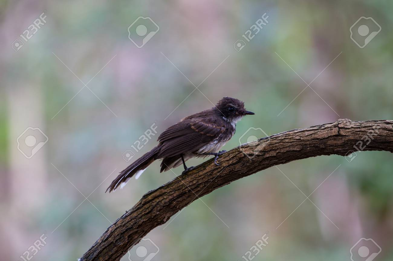 8f08d8d8470 Pied Fantail bird sitting on bracnh (Rhipidura javanica) Stock Photo -  64630018