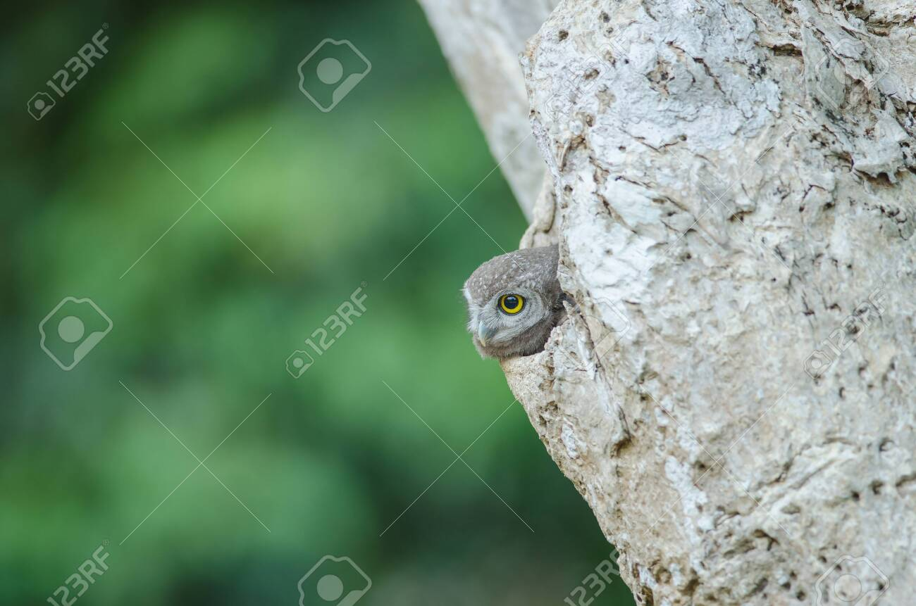 Spotted owlet (Athene brama) in the nature, Thailand - 130648650
