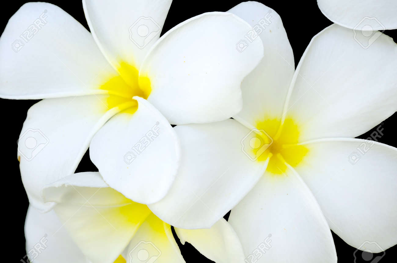 White and yellow flower in thailand name is pagoda tree stock photo stock photo white and yellow flower in thailand name is pagoda tree mightylinksfo
