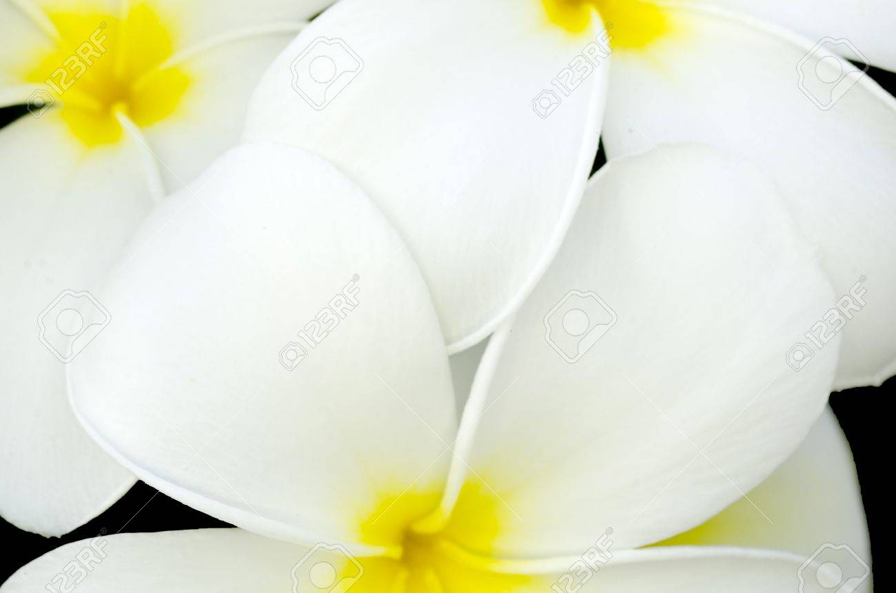 White And Yellow Flower In Thailand Name Is Pagoda Tree Stock Photo