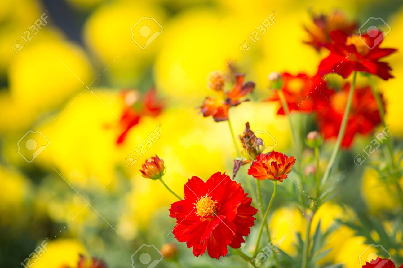 Little Red Flower On Yellow Flowers Background Stock Photo