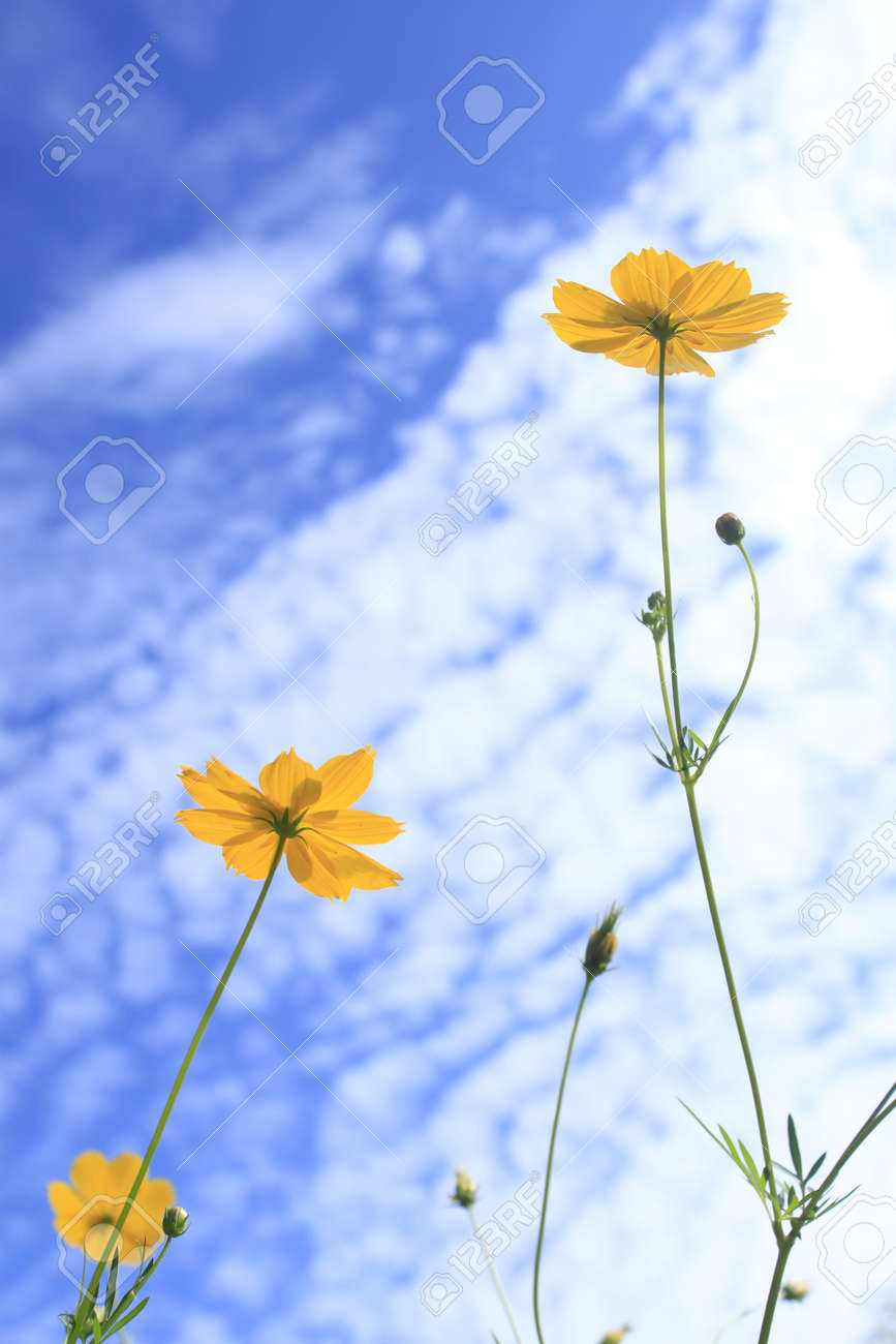 Yellow Cosmos Mexican Aster Flower White Cloud And Blue Sky Stock