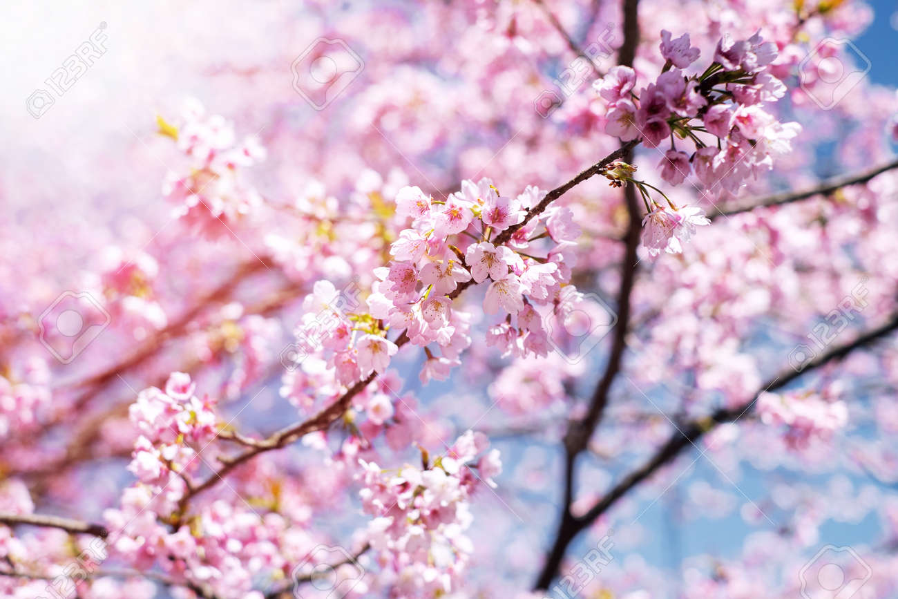 Pink cherry blossom or japanese sakura flower are blooming in spring pink cherry blossom or japanese sakura flower are blooming in spring signature of japan mightylinksfo