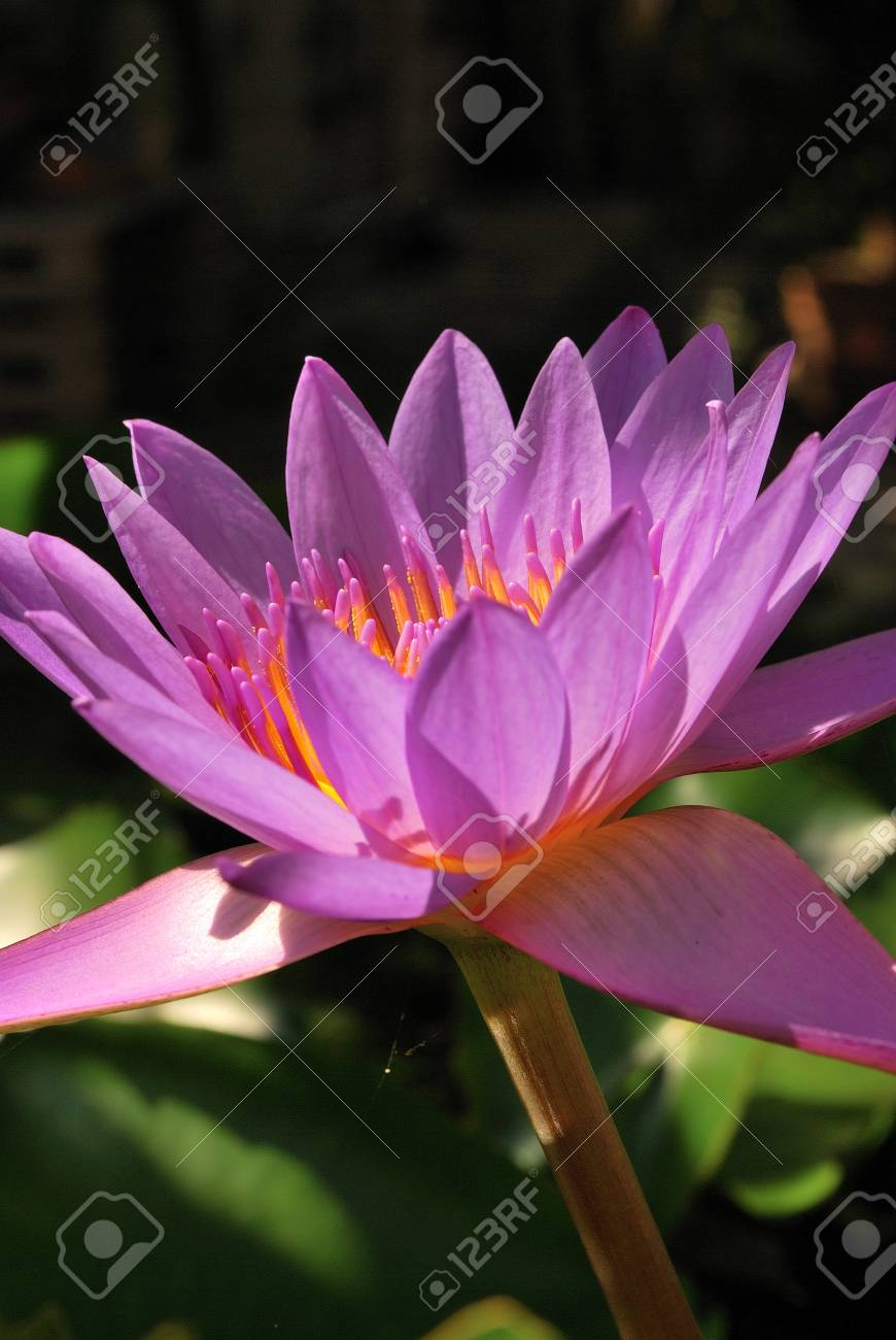 Purple Lotus Flower Stock Photo Picture And Royalty Free Image
