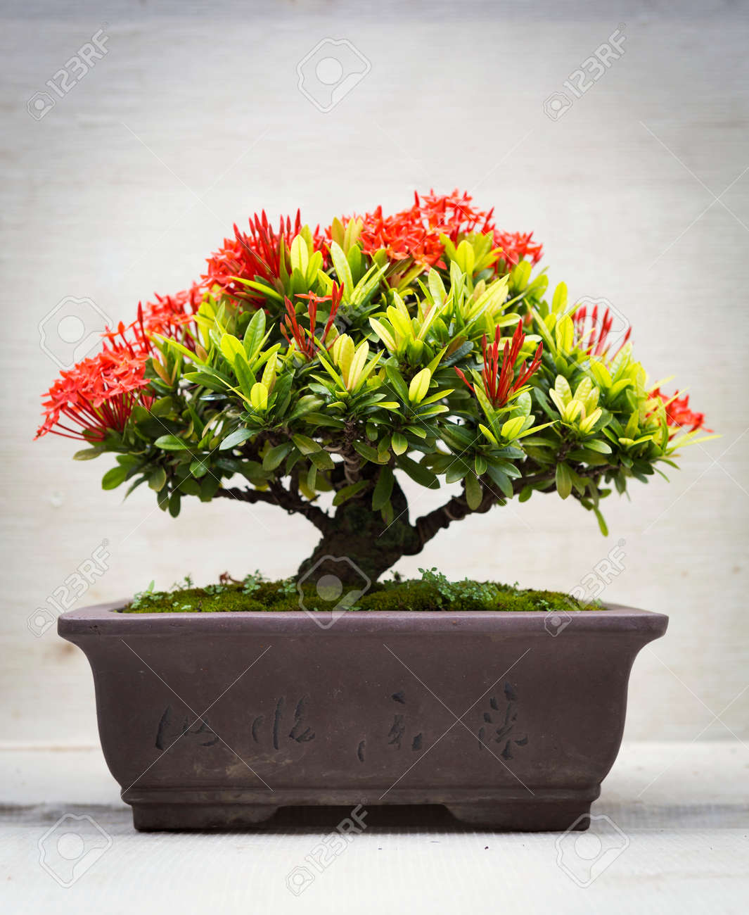 Ixora Bonsai In Clay Pot Stock Photo Picture And Royalty Free Image Image 74206399